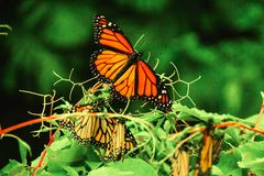 Monarch Butterfly in Michoacan Mexico mexican monarca. Insect wildlife in forest stock photo