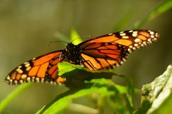 Monarch Butterfly in Mexico. Monarch butterfly migrates from Canada to Mexico every year. It´s an amazing distance, more than 2000 miles, and some estimates royalty free stock photo