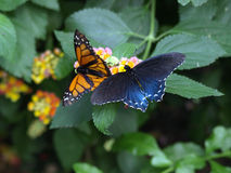 The Monarch butterfly migrates large distances. This Butterflies feed primarily on nectar from flowers royalty free stock photos