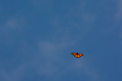 Monarch Butterfly. Migrating to Mexico Royalty Free Stock Image