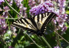 Monarch Butterfly. Migration, central California coast stock image