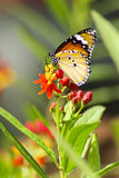 Monarch Butterfly, Milkweed Mania Royalty Free Stock Photography