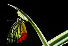 Monarch Butterfly, Milkweed Mania. Baby born in the nature. with detail stock photo
