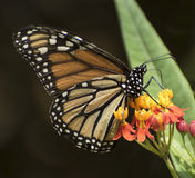 Monarch Butterfly on Milkweed Plant. Orange, brown, black, and white monarch butterfly on the red and yellow flowers and green leaf of a milkweed plant against a royalty free stock image