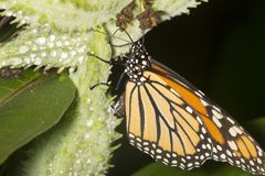 Monarch butterfly on milkweed seed pod in New Hampshire. Adult monarch butterfly, Danaus plexippus, order Lepidoptera, ovipositing on a milkweed pod in the stock photography