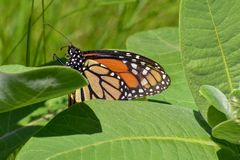 Monarch butterfly at Milwaukee River in Wisconsin. Monarch butterfly at the Milwaukee River at Estabrook Park in Glendale Wisconsin stock photography