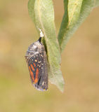Monarch butterfly moments before eclosion. From its chrysalis Stock Photos