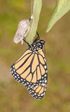 Monarch butterfly moments after eclosion. From its chrysalis, waiting for its wings to fill up Royalty Free Stock Images