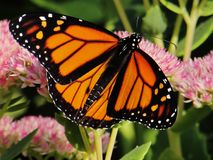 Monarch Butterfly. Enjoying Pink Stonecrop Flowers royalty free stock image