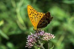 Monarch butterfly. Feeding on flowers in garden stock images