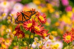 Monarch Butterfly. Flying a round the city royalty free stock photos