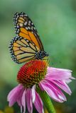 Monarch Butterfly. A monarch butterfly pollinating a yellow daisy royalty free stock images