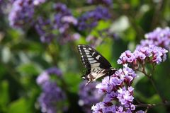 A monarch butterfly. On a pretty purple flower stock photography