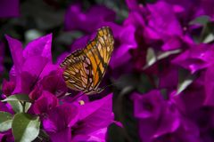 Monarch Butterfly. The purple bugambilia is a very beautiful plant that is given in Puebla stock image
