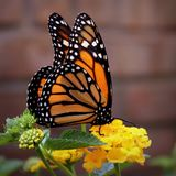 Monarch Butterfly. Resting on lantana flowers in the garden stock photography