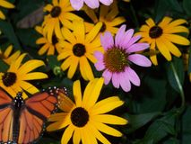 Monarch butterfly. Translucent wing yellow and pink flowers royalty free stock images