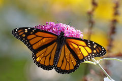 Monarch Butterfly Nectaring on Butterfly Bush Royalty Free Stock Image