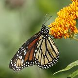 Monarch butterfly nectaring on butterfly weed. Monarch butterfly Danaus plexippus nectaring on butterfly weed - Ontario, Canada royalty free stock image