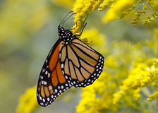 Monarch Butterfly Nectaring on Canada Goldenrod. A Monarch Butterfly (Danais plexippus) fuels up on nectar from a Canada Goldenrod in September to prepare for stock photo
