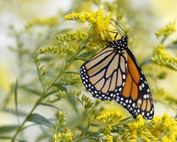Monarch Butterfly Nectaring on Canada Goldenrod Stock Photos