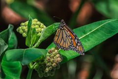 Monarch Butterfly. Nectaring on a common milkweed flower royalty free stock image