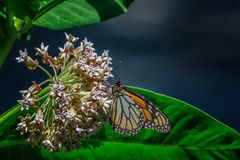 Monarch Butterfly. Nectaring on a common milkweed flower royalty free stock photo