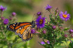 Monarch Butterfly. Nectaring on a New England Aster Stock Photography