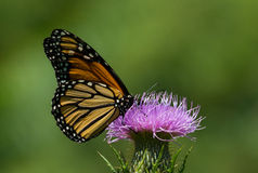 Monarch Butterfly Nectaring on Thistle Stock Photography