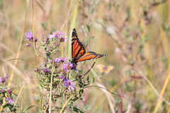Monarch Butterfly on New England Aster Royalty Free Stock Photos