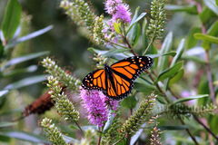 Monarch Butterfly on a New Zealand Hebe Flower Stock Images