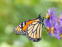 Free Monarch Butterfly On Aster 2 Stock Images - 165695174