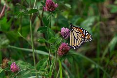Free Monarch Butterfly On Clover In The Prairie Royalty Free Stock Image - 194519556