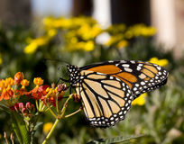 Free Monarch Butterfly On Milkweed Stock Photography - 7773572