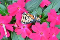 Monarch Butterfly On The Flowers
