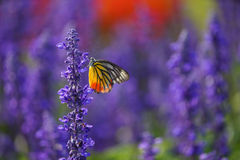 Free Monarch Butterfly On The Lavender In Garden Royalty Free Stock Photos - 36605868