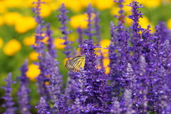 Free Monarch Butterfly On The Lavender In Garden Stock Images - 36606094