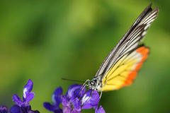 Free Monarch Butterfly On The Lavender In Garden Royalty Free Stock Photos - 36607008
