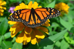 Monarch Butterfly On The Sunflower