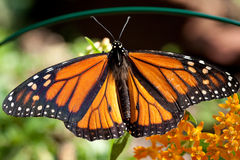 Monarch butterfly with open wings. Royalty Free Stock Image