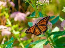 Monarch butterfly with open wings on a green stem of sedum flower. In an Omaha Nebraska flower garden stock photo