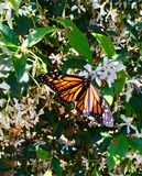 Monarch Butterfly with Open Wings. An orange and black monarch Butterfly is on a jasmin flowering plant stock photo