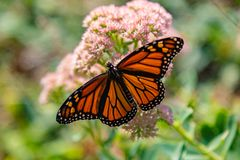 Monarch butterfly with open wings perching on sedum. Monarch butterfly with open wings perching on light pink sedum, stonecrop flower in a flower garden Omaha royalty free stock image