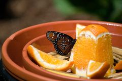 A Monarch Butterfly on an orange. A Monarch Butterfly feeding on a cut orange in a dish Royalty Free Stock Image