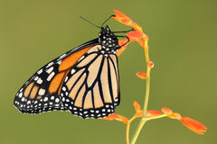 Monarch butterfly on orange flower. With green background Royalty Free Stock Photos