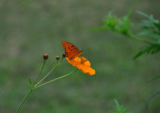 Monarch Butterfly on Orange Flower Royalty Free Stock Photo