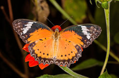 Monarch Butterfly on a orange flower, Danaus plexippus, on dark Royalty Free Stock Photography