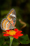 Monarch Butterfly On A orange Flower, Danaus plexippus Royalty Free Stock Image