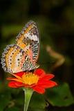 Monarch Butterfly On A orange Flower, Danaus plexippus Royalty Free Stock Image