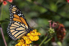 Monarch Butterfly on orange flowers stock photography