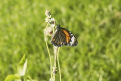 Monarch Butterfly - An orange monarch butterfly holding on to a fading blossom. Horizontal close up photo of an orange monarch butterfly holding on to a fading royalty free stock photos